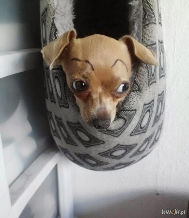 Psy z domalowanymi brwiami