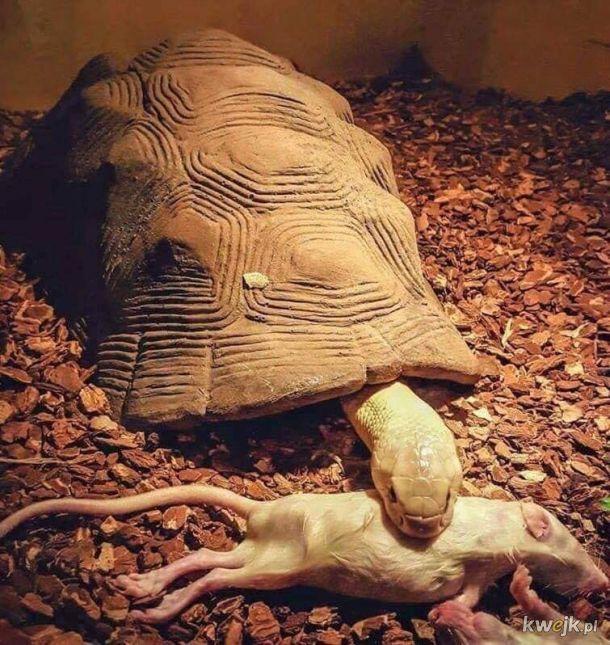 Żółwik drapieżny