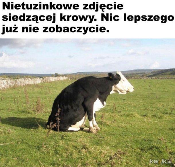 Siedząca krowa