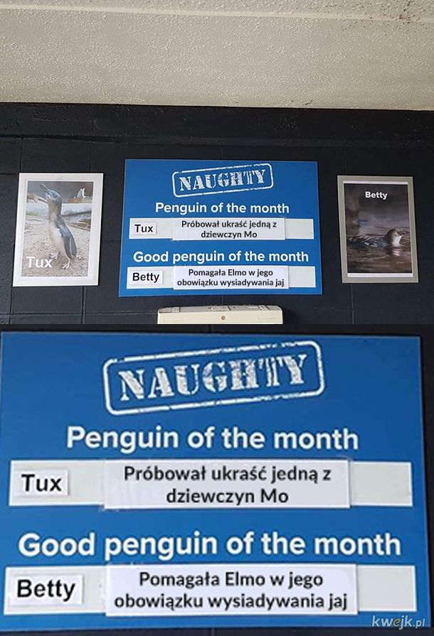 Niegrzeczne i grzeczne pingwiny miesiąca z zoo w Nowej Zelandii