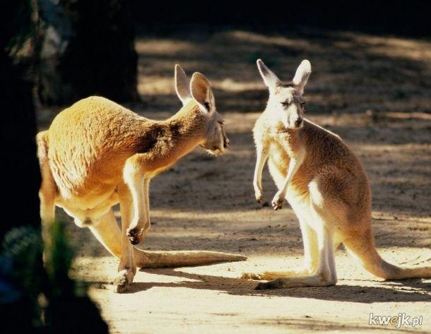 Druga wersja utworu hip hop o kangurze. Zapraszam https://www.youtube.com/watch?v=JDWYazENQTk&list=PLWg6TkzqnP6O5BmCDBnnnIOu2TqVh4j7e&index=12