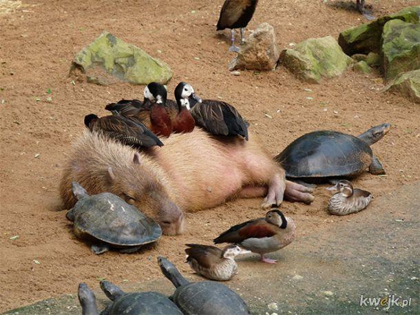 Dobry ziomek kapibara