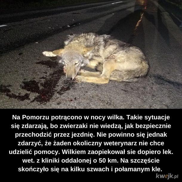 Złapać wilka
