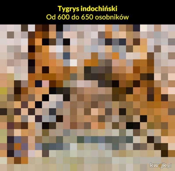 Jeden piksel to jeden osobnik pozostały na Ziemi, obrazek 18