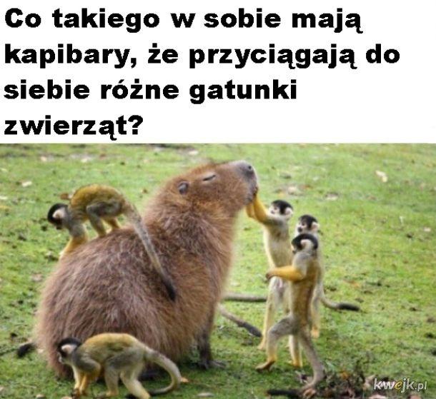 Kapibara wielka, przyjaciel wszystkich zwierząt