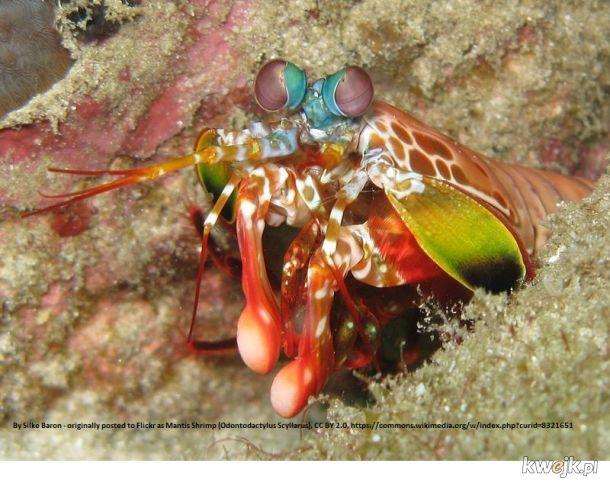 16 receptorów barwy. Dla porównania - my mamy 3, psy 2 rodzaje. To stworzenie widzi kolory, jakich nasze mózgi nie są sobie w stanie wyobrazić. Rawka błazen (Odontodactylus scyllarus)