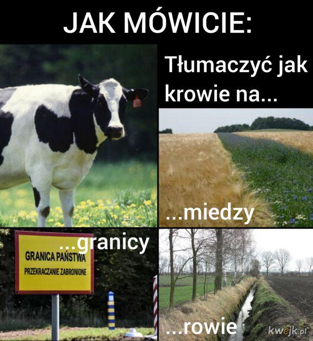 Jak krowie na...