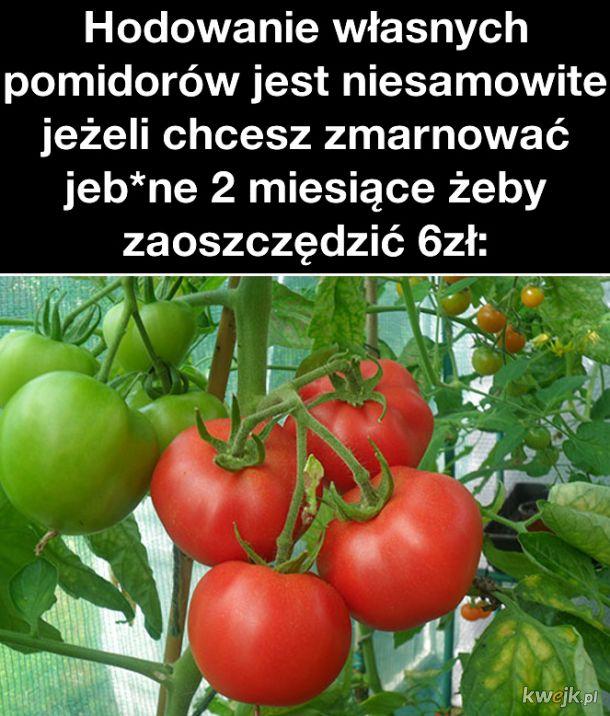 Własne pomidory