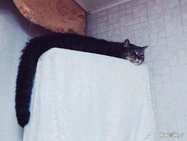 Bardzo długie koty, obrazek 4