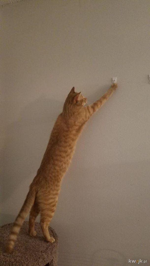 Bardzo długie koty, obrazek 3
