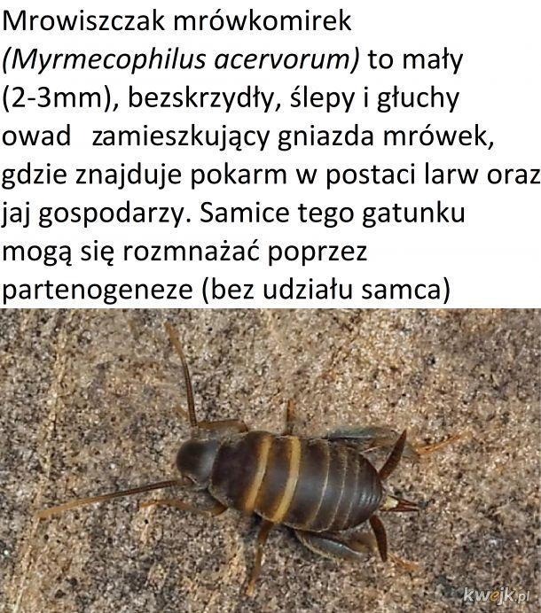 Mrowiszczak mrówkomirek