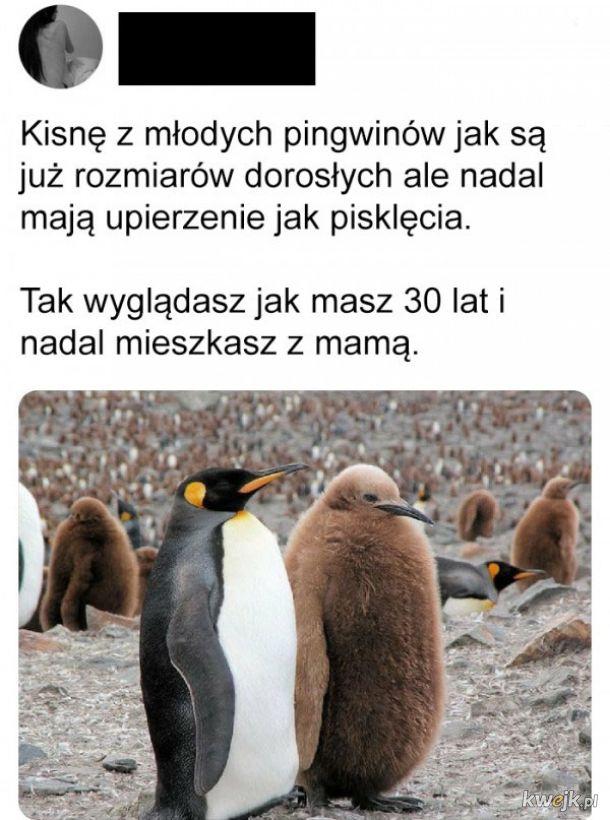 Młode pingwiny