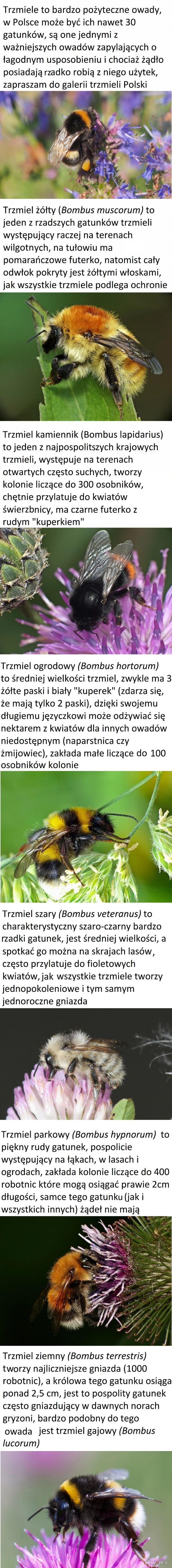 Trzmiele Polski