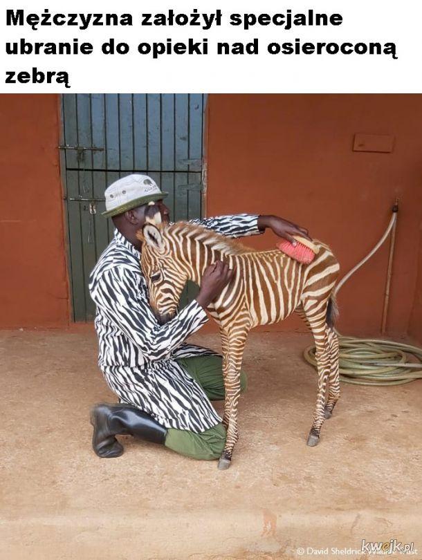 Mała zebra