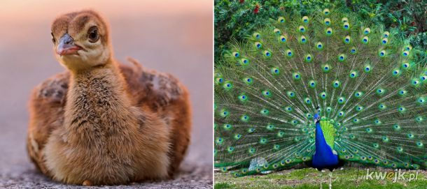 Porównanie piskląt i dorosłych ptaków