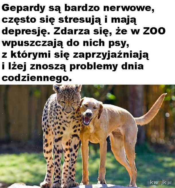 Kumpel dla geparda