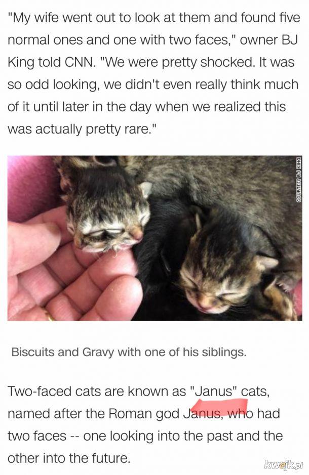 W Stanach urodził się dwugłowy kot - typowy 2020