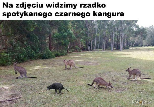 Rzadki kangur