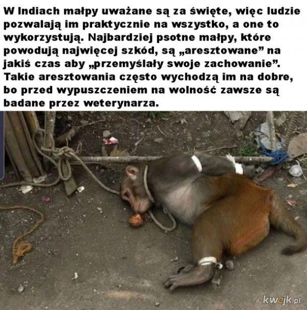 Święte małpy