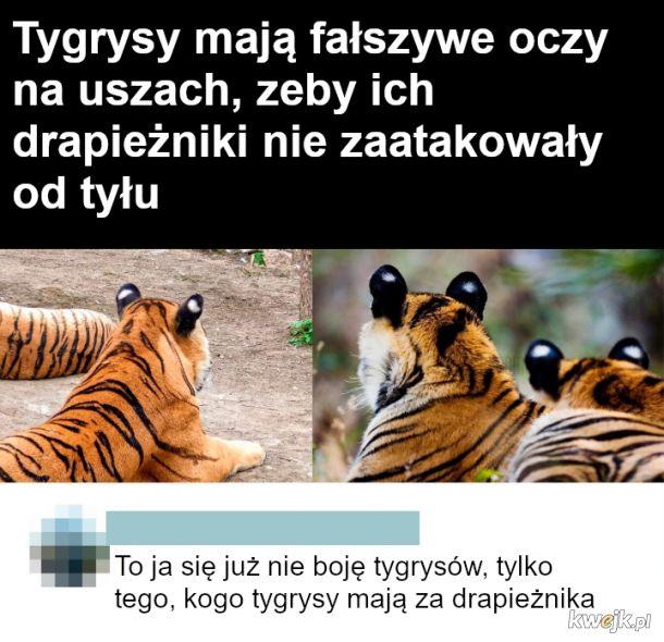 Tygrysy i drapieżniki