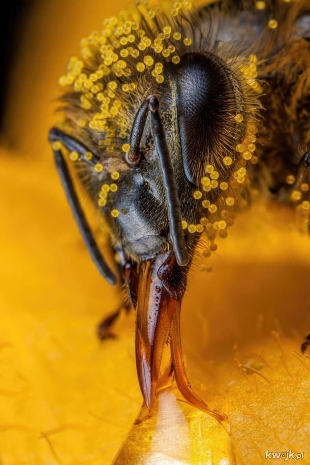 John Kimbler, pszczoła pokryta pyłkiem z cukinii