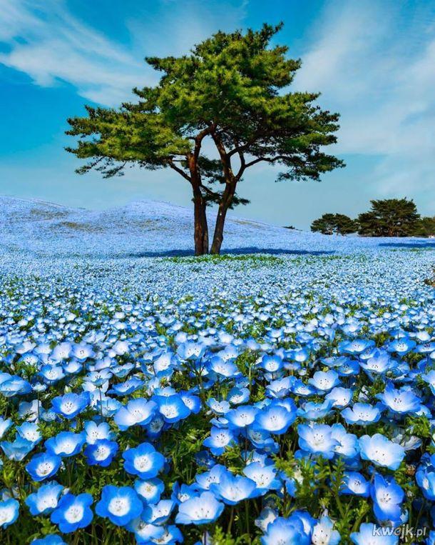 A sea of Baby Blue Eye flowers in Hitachi Seaside Park, Japan
