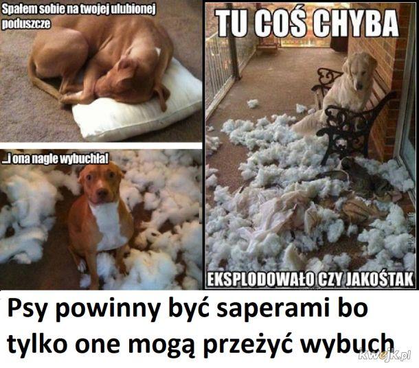 Psy sapery