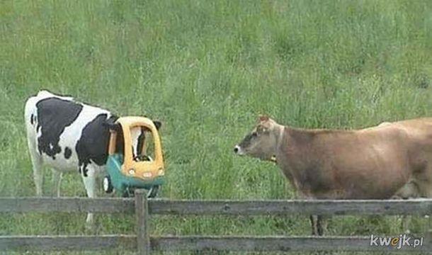 Nowe maseczki dla bydła