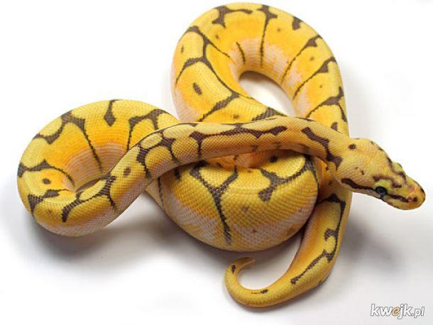 Wąż Python Regius(królewski)  max.180cm.2kg.Senegal, Mali, Chad, Sudan,