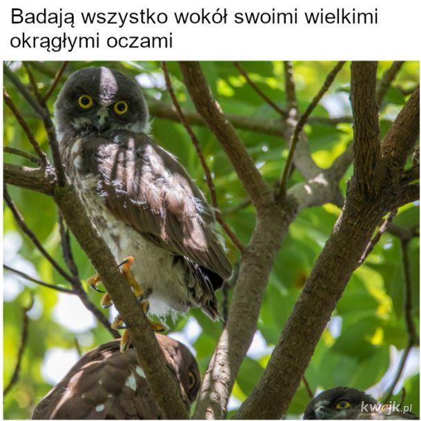 Nowe sowy brunatne od hobbysty ornitologa (cz.2)