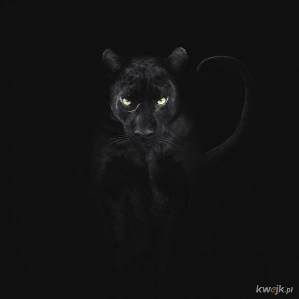 Duże kociaki w obiektywie Shaaz Junga