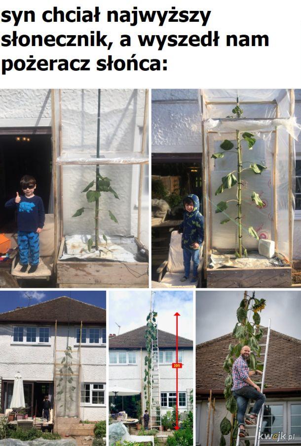 słonecznik na 6-7 metrów