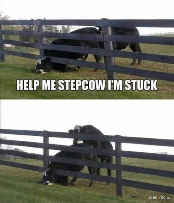 Stepująca krowa