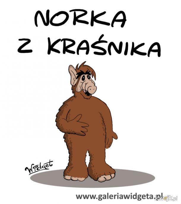 Norka z Kraśnika