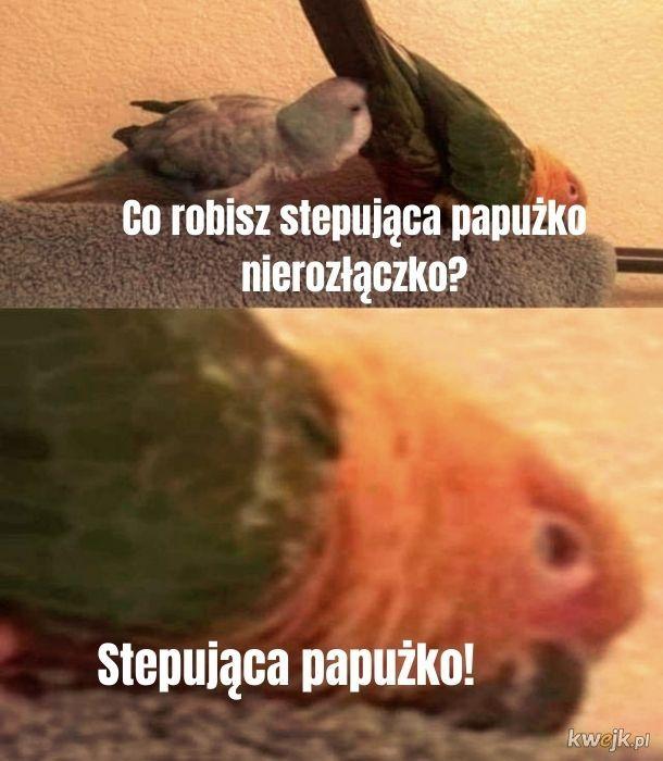 Stepujące papużki