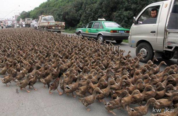 Czyli kaczki nie chodzą gęsiego