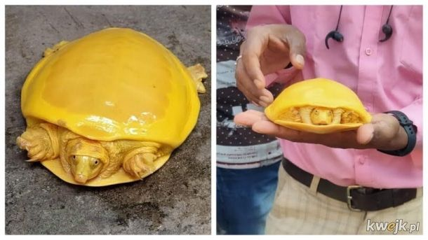 Żółty żółw