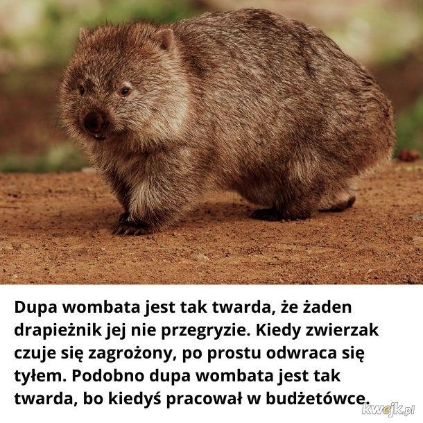 Potwierdzam. Mój znajomy był tym wombatem