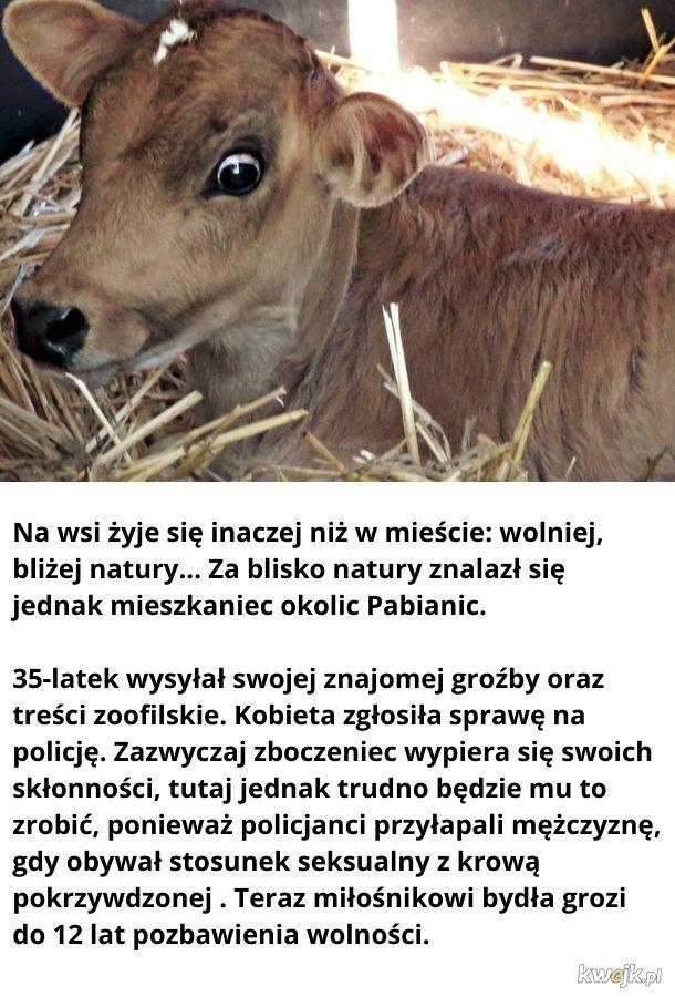 Mysta Krowa Lowa