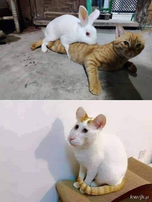 Połączenie królika i kota