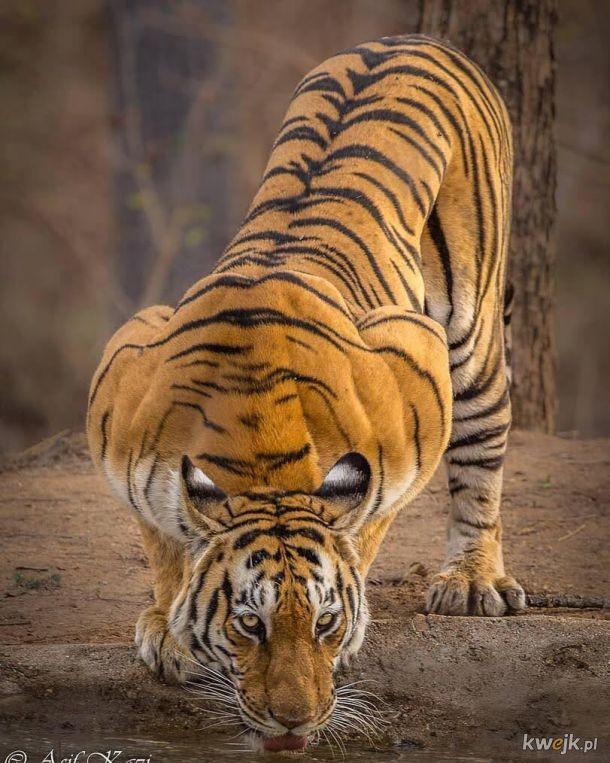 Napakowany tygrys