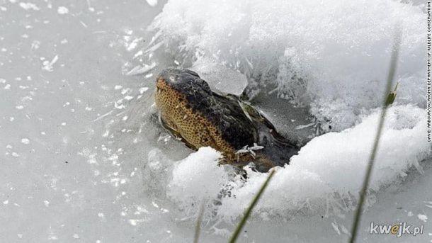 Aligator z Oklahomy poddał się brumacji