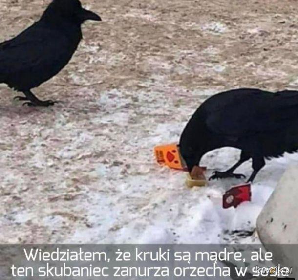 Mądry kruk