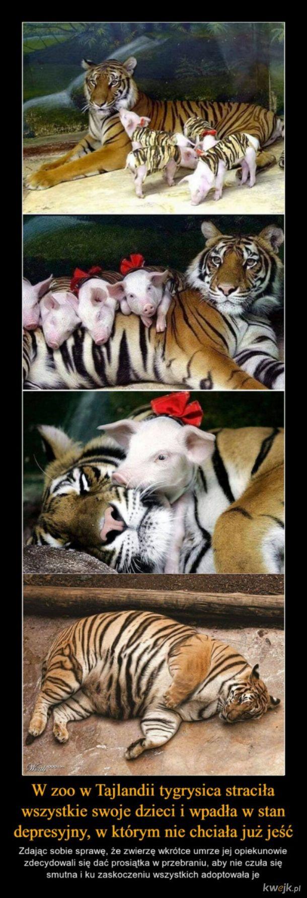 Tygrysiaczki ♡‿♡