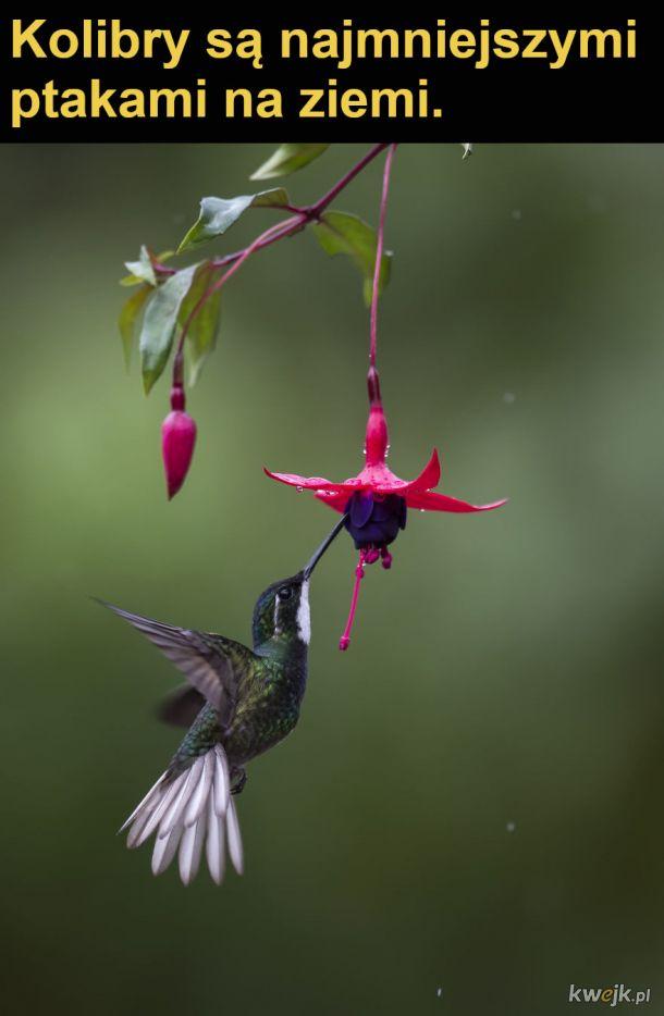 Interesujące fakty o kolibrach