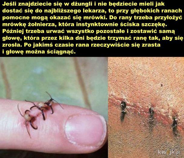 Mrówki zamiast szwów