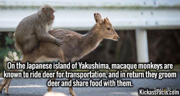 Małpy jeżdżą na jeleniach, w zamian dbają o nie i dzielą się z nimi jedzeniem.