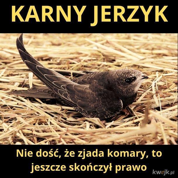 Karny Jerzyk