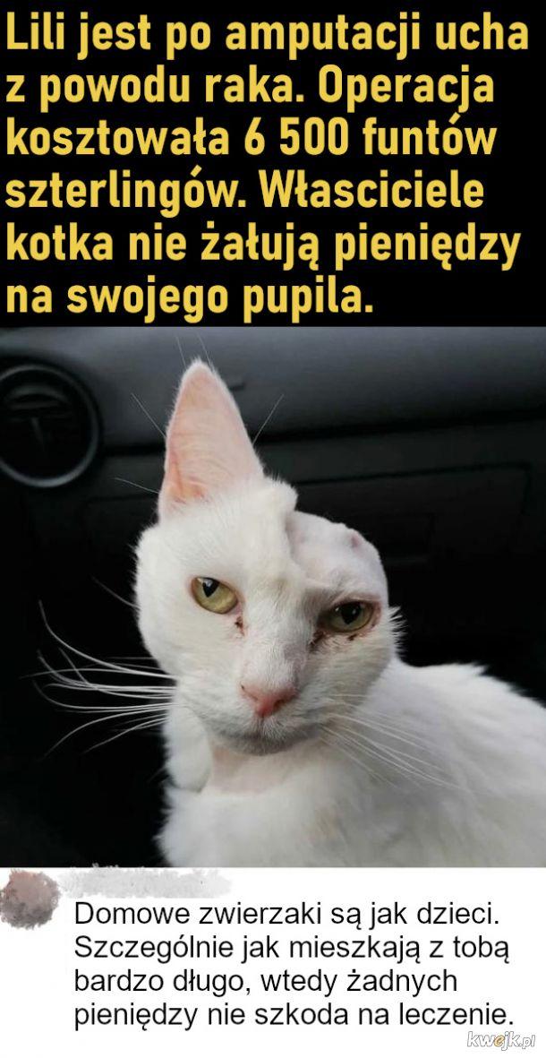 Kotek po amputacji ucha