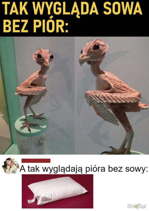 Tak wygląda sowa bez piór